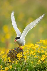 Land of the Arctic Tern (Osprey-Ian) Tags: grimseyisland iceland arctictern