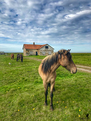 The House of Icelandic Horses (Osprey-Ian) Tags: icelandichorse iceland icelandhorse horse