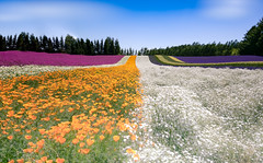 Colorful field (Tomo M) Tags: smileonsaturday meadowsandfields flowers field line sky color summer hokkaido furano farmtomita nature