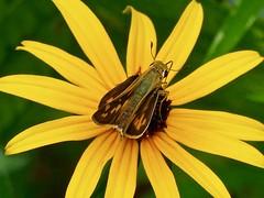 Fiery Skipper (Hylephila phyleus) (WRFred) Tags: washingtonwestquad maryland montgomerycounty insect nature wildlife backyardwildlife flower skipper butterfly