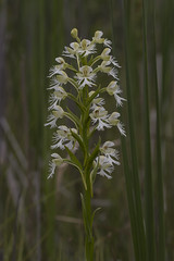 Platanthera leucophaea (ab_orchid) Tags: native orchid species ontario platanthera leuophaea rare endangered