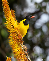 Black-headed Oriole (leendert3) Tags: leonmolenaar southafrica krugernationalpark naturereserve wildlife wildanimal wilderness nature naturalhabitat bird blackheadedoriole ngc npc naturethroughthelens