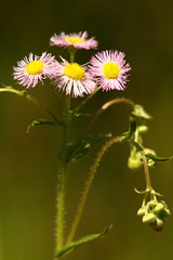 Philadelphia Fleabane (Derbyshire Harrier) Tags: nyc 2019 naturetrek newyork erigeronphiladelphicus philadelphiafleabane broadchannel spring may pink jamaicabaywildliferefuge eastpond