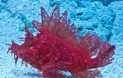 Skorpionfisch / Scorpionfish (schreibtnix on'n off) Tags: natur nature tiere animlas fische fish aquarium skorpionfisch scorpionfish taenianotustriacanthus rot red bizarr bizarre nahaufnahme closeup olympuse5 schreibtnix