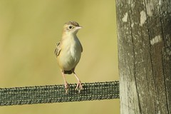 Zitting Cisticola / Fan-tailed Warbler (cisticola juncidis) (mrm27) Tags: laureminervois aude france cisticola zittingcisticola warbler fantailedwarbler cisticolajuncidis