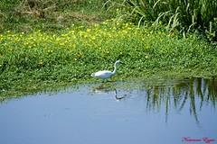 Aigrette Garzette (3) (Ezzo33) Tags: france gironde nouvelleaquitaine bordeaux ezzo33 nammour ezzat sony rx10m3 parc jardin oiseau oiseaux bird birds aigrettegarzette egrettagarzetta littleegret