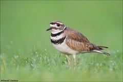 Killdeer On Dewy Grass (Daniel Cadieux) Tags: killdeer shorebird grass dew dewy ottawa petrieisland