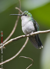 andean emerald (amazilia franciae) (punkbirdr) Tags: andeanemerald amaziliafranciae kusmin nikon birds birding d500 500mmedafsif4 punkbirdrphoto peru