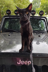 So where are we going today? (annette.allor) Tags: cat jeep walk adventure pose animal pet outdoor black feline