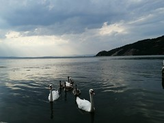 The Swans Family (kontinova2) Tags: swansfamily river danube golubac