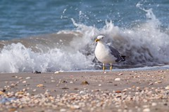 Goéland leucophée (Marc ALMECIJA) Tags: outdoor outside oiseau bird nature natur wildlife panasonic g9 100400 plage beach playa vague water wasser wave goéland leucophée gull