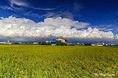 稻香_DSC8567N (何鳳娟) Tags: 農田 稻子 金黃稻穗 高積雲 藍天白雲 房子 鄉村風景 風景 雲林縣虎尾鎮 雲嘉南平原