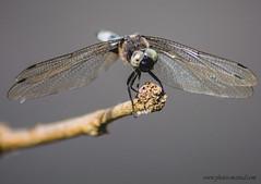 Anax empereur (kahem54) Tags: libellule odonate anax empereur insecte prédateur eau été vol etangs nikon d5200 branche bleu ailes