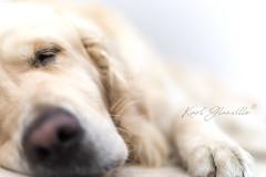 Sweet Golden Dreams (glank27) Tags: golden retriever magic sleep dog wildlife canine k9 pet bokeh 50mm karl glanville canon ef50mm f18ii eos5dmkiv candid dreams cute