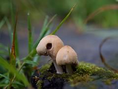 P1241688=mushroom (Mark Bukumunhe) Tags: mushroom small macro lumixg9