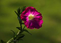 Petunia (Diane Marshman) Tags: petunia flower annual garden container hanging basket plant deep pink purple white center green leaves closeup summer spring fall blooms blooming blossom pa pennsylvania nature