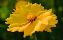 Yellow Flower. (denkuznets81) Tags: flower floral yellow garden green nature macro bloom blossom beautiful summer цветы цветок желтый природа макро лето