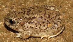 Spea multiplicata (Birdernaturalist) Tags: amphibia anura arizona richhoyer scaphiopodidae