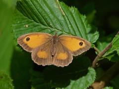 Amaryllis (pyronia tithonus) femelle (pierre.pruvot2) Tags: papillon arthropode insecte butterfly panasonic leica lumixg9 france pasdecalais clairmarais