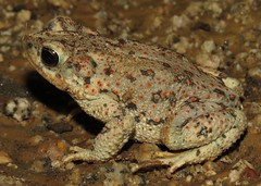 Anaxyrus punctatus (Birdernaturalist) Tags: amphibia anura arizona bufonidae richhoyer