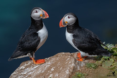 A Pair of Puffins (Osprey-Ian) Tags: grimseyisland iceland atlanticpuffin