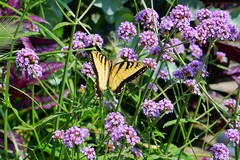 20190801 Eastern Tiger Swallowtail Butterfly (Dolores.G) Tags: day213365