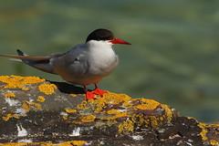 Arctic tern (jon lees) Tags: england uk northumbria wildlife bird sea sterna paradisaea arctic tern adult farne islands