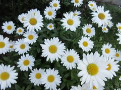 ** Les marguerites de Clo ** (Impatience_1) Tags: parterresdeclo marguerite daisy fleur flower m impatience alittlebeauty supershot coth coth5 sunrays5 abigfave naturallywonderful wonderfulworldofflowers fantasticnature