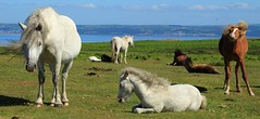 Shake it off (Simon's Ponie / horse photography) Tags: cefn bryn the gower welsh ponies pony horse horses wild semi managed wales swansea simon prior equine 2019 july animals foal gelding mare uk