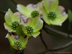There is no such thing as gratitude unexpressed. If it is unexpressed.... (itucker, thanks for 5+ million views!) Tags: macro bokeh green hggt dogwod blossom dogwoodblossom dukegardens coth5