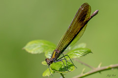 DSC0924  Beautiful Demoiselle... (Jeff Lack Wildlife&Nature) Tags: beautifuldemoiselle demoiselle odonata damselfly damselflies insects insect wildlife wetlands woodlands wildlifephotography waterways jefflackphotography marshland marshes meadows macro countryside copse glades grasslands lakes ponds bogs naturephotography nature