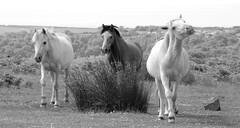 Attitude (Simon's Ponie / horse photography) Tags: cefn bryn the gower welsh ponies pony horse horses wild semi managed wales swansea simon prior equine 2019 july animals foal gelding mare beautiful