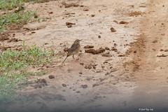 1.27464 Pipit à dos uni / Anthus leucophrys zenkeri / Plain-backed Pipit (Laval Roy) Tags: afrique africa uganda pipitàdosuni anthusleucophryszenkeri motacillidés passeriformes plainbackedpipit oiseaux birds aves lavalroy