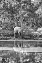 "fine art black & white study of an elephant hoovering up water from a pool. Elephant Plains Game Lodge, Sabi Sand Game Reserve, Kruger National Park, South Africa. (grumpybaldprof) Tags: ""elephantplainsgamelodge"" ""sabisandgamereserve"" ""krugernationalpark"" ""southafrica"" limpopo mpumalanga ""big5"" wildlife lion hippo rhino elephant buffalo ""painteddog"" ""africanhuntingdog"" cheetah ""gamereserve"" lodge ""gamedrives"" ""gamewalks"" animals ""bigcat"" ""gamedrive"" ""gamewalk"" ""wildanimals"" bird squirrel calf ""elephantcalf"" hyena zebra wildebeest giraffe warthog drinking trunk water pool pond waterhole nellie reflections waterreflections bw blackwhite ""blackwhite"" ""blackandwhite"" noireetblanc monochrome ""fineart"" ethereal striking artistic interpretation impressionist stylistic style mood moody atmosphere atmospheric calm peaceful tranquil restful canon 80d ""canon80d"" sigma 150600mm f563 ""dgoshsmsport"" ""sigma dgoshsmsport"""
