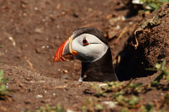 Puffin (jon lees) Tags: england uk northumbria wildlife bird sea farne islands