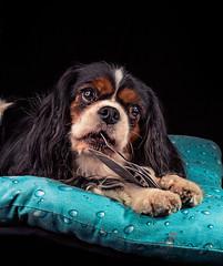 Lilly (Pepenera) Tags: dogs dog fotografia ritratto cavalierkingcharlesspaniel cane cavalier cani photography portrait