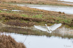 20181221__Grande Aigrette-3 (thadeus72) Tags: ardeaalba ardéidae ardéidés aves birds grandeaigrette oiseaux pélécaniformes westerngreategret