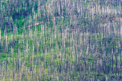 Waterton National Park, 2 years after the big forest fire. (dwb838) Tags: landscape trees waterton nationalpark