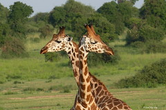 Girafe de Rothschild / Giraffa camelopardalis rothschildi / Rothschild's giraffe (Laval Roy) Tags: afrique africa uganda safari queenelizabethnationalpark mammifères mammals lavalroy girafederothschild giraffacamelopardalisrothschildi rothschildsgiraffe artiodactyles ongulés ruminants coth5