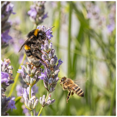 Pollinators (A Journey With A New Camera) Tags: bee bumblebee honeybee lavender nature insect dof