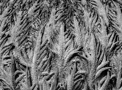 Heart of a saga palm (FotoGrazio) Tags: monochromatic flowers blossom fotograzio botany photoeffect textures plant mothernature macro monochrome waynegrazio heart macrophotography photomanipulation thebeautyofnature sureal phototoart flower fronds texture sagapalm waynesgrazio palm closeup beautiful abstract naturephotography lovely botanical art palmtree nature blackandwhite waynestevengrazio surreal