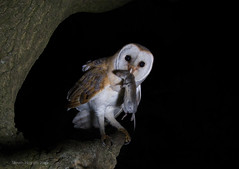 Barn owl female  (Tyto Alba) (Steven Mcgrath (Glesgastef)) Tags: barn owl night shot glasgow scotland uk wifi canon 70d bird prey vole raptor perch animal urban wild wildlife nature