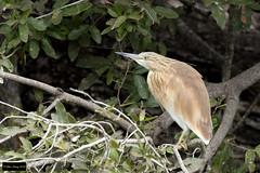 Squacco Heron (Ardeola ralloides) (Dave 2x) Tags: ardeolaralloides ardeola ralloides squaccoheron squacco heron krugernationalpark kruger southafrica leastconcern