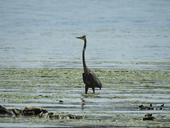 A Great Blue Heron standing in the Ottawa River in Gatineau, Quebec (Ullysses) Tags: ottawariver rivièredesoutaouais heron greatblueheron ardeaherodias birds oiseaux gatineau quebec canada hull