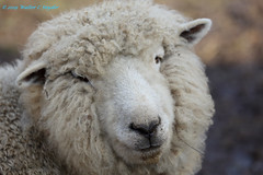 Wooly Bully...Revisited...New Pic 2...That's It. (Walt Snyder) Tags: canoneos5dmkiii canonef100400mmf4556l farm animals sheep ram wool portrait nose