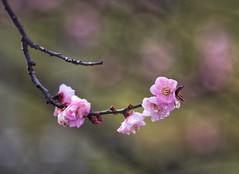 Colores naturales (carlos_ar2000) Tags: flor flower color colour dof bokeh natiraleza nature rama branch palermo buenosaires argentina sakura cerezo
