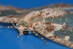 Painted emerald moth female Eucyclodes aphrias Geometrini Geometrinae Geometridae Mandalay rainforest Airlie Beach P1110880 (Steve & Alison1) Tags: painted emerald moth female eucyclodes aphrias geometrini geometrinae geometridae mandalay rainforest airlie beach