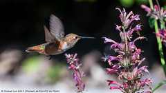 Allen's Hummingbird (20190729-DSC05116) (Michael.Lee.Pics.NYC) Tags: sandiego balboapark alcazargarden nature bokeh bird hummingbird flower feeding sony a6500 fe100400mmgm 14xtc allenshummingbird nectar hover flight