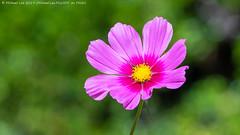 Cosmos (20190729-DSC04624) (Michael.Lee.Pics.NYC) Tags: sandiego balboapark alcazargarden nature bokeh flower sony a6500 fe100400mmgm 14xtc cosmos