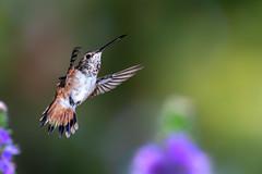 Love Life! (Patricia Ware) Tags: allenshummingbird backyard birdsinflight california canon ef400mmf4doisiiusmlens fullframe handheld manhattanbeach multipleflash selasphorussasin tripod ©2019patriciawareallrightsreserved specanimal